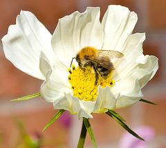 IMG 6035 Bee