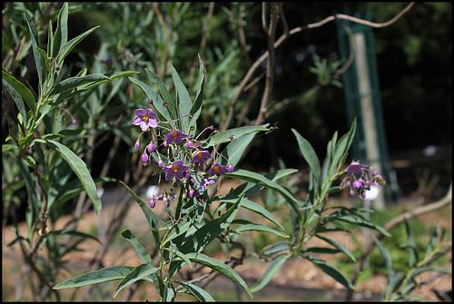 Solanum glaucophyllum (9)