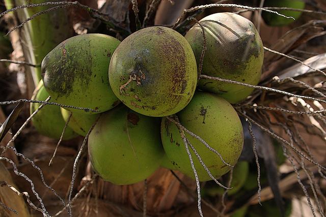 Réchauffement climatique en Beauce , depuis hier mes noix de coco sont mûres .