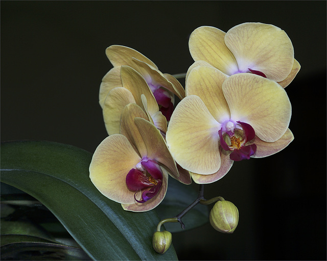 Gelbe Phaleanopsis-Blüten