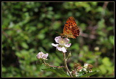 Brenthis daphne (1)