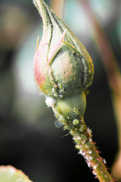 Bugged Rose bud