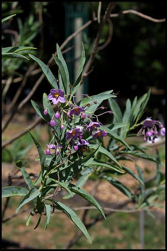 Solanum glaucophyllum (11)