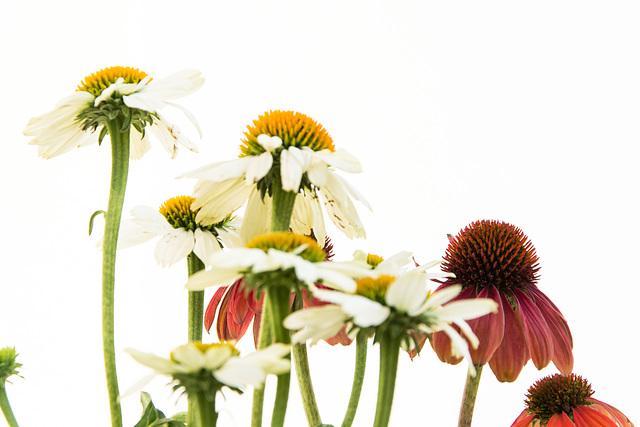(225/365) Dancing Echinacea