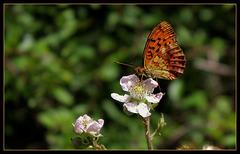 Brenthis daphne (2)