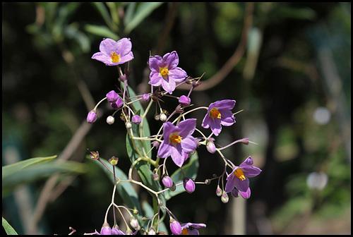Solanum glaucophyllum (12)