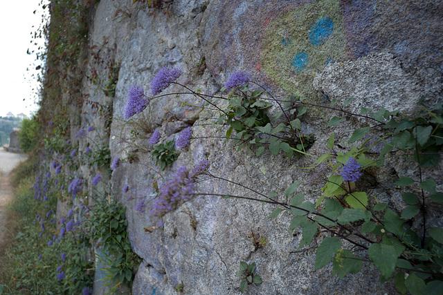 Trachelium caeruleum, Porto