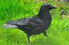 Carrion crow (Corvus corone).