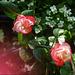 Meine wunderschöne Rose blüht wieder ♥