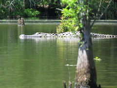 Alligator enjoying morning sunshine