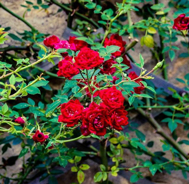 Red Roses for May Day
