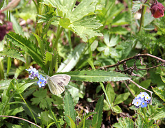 Schmetterling auf Vergissmeinnicht (PIP)