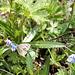 kleiner Schmetterling auf Vergissmeinnicht (PIP)