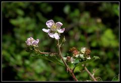 Rubus fruticosus (2)