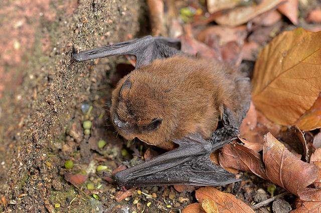 Pipistrelle Bat (1)  /  Sept 2017