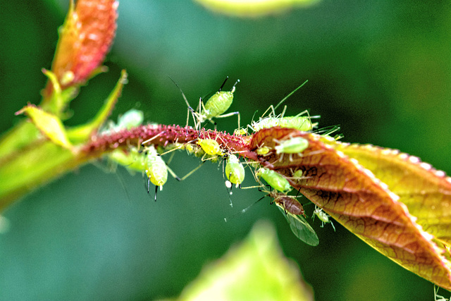 Aphid family picnic