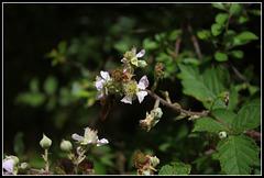 Rubus fruticosus (3)
