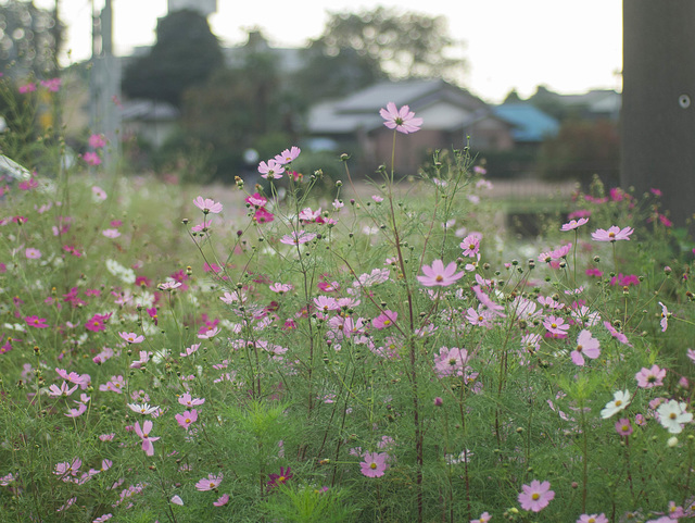 Cosmos by the roadside