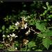 Rubus fruticosus (4)
