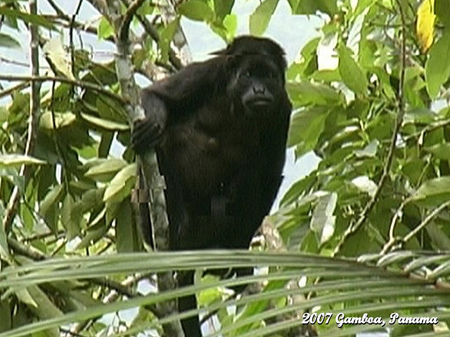 34 Howler Monkey From the Tower