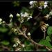 Rubus fruticosus (5)