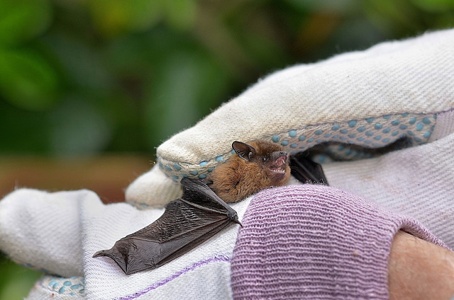 Pipistrelle Bat (2)  /  Sept 2017