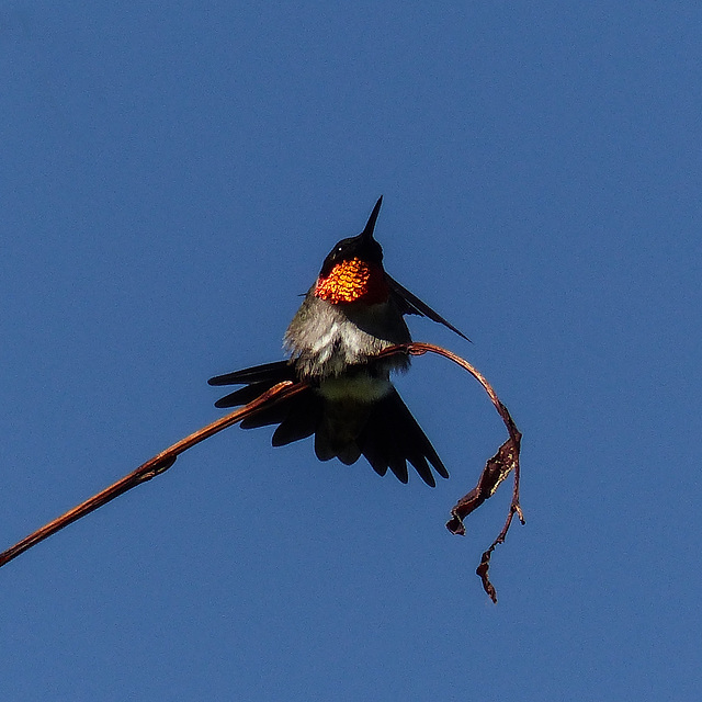 Ruby-throated Hummingbird, flashing his colour