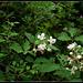 Rubus fruticosus (7)