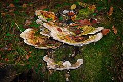 Ein Stillleben mit Waldpilzen - A Still Life with Forest Mushrooms