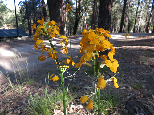 Flowers at Camp Round Meadow (2704)
