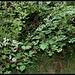 Rubus fruticosus