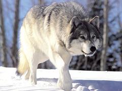 Hurlements des loups