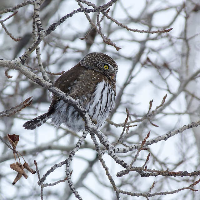 Northern Pygmy-owl from 2011