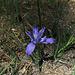 Iris (2714)