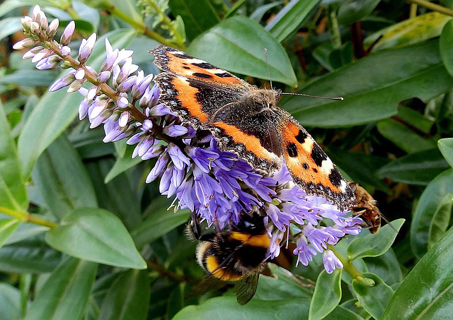 Small Tortoiseshell and Bees on Hebe.