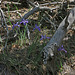 Irises (2717)