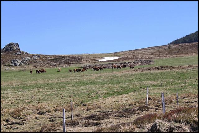 Au pays du Fin gras- troupeau de race tarine