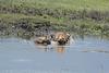 Ngorongoro, Hyenas Devour the Body of a Dead Hippopotamus