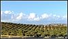 L'hiver en Tunisie, des olivier * Winter in Tunesien, Olivenbäume