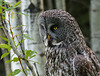 Great Gray Owl, focused