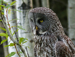 Great Gray Owl, focused