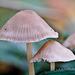 Kleine Pilzchen ganz groß - Small mushrooms quite big