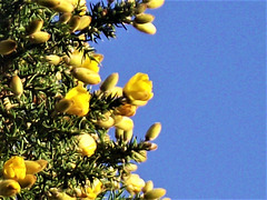 The yellow gorse is gorgeous against the blue sky