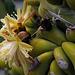 Myrtillocactus geometrizans, Caryophyllales