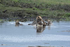 Ngorongoro, Hyenas Devour the Body of a Dead Hippopotamus