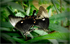 Emerald Swallowtails ~ Green Banded Peacocks (Papilio palinurus)...