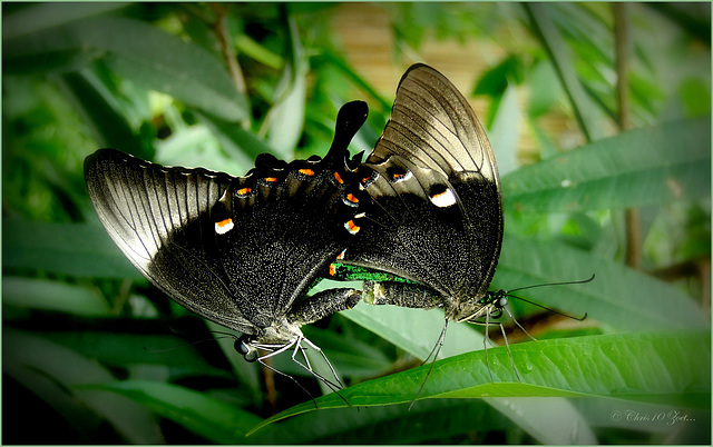 Emerald Swallowtails ~ Green Banded Peacocks (Papilio palinurus) mating...