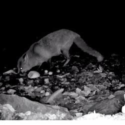 Screenshot 2018-11-23 Badger cam Cumbria Wildlife Trust (2)