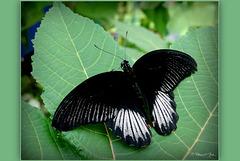 Scarlet Mormon (Papilio deiphobus rumanzovia), male ♂...