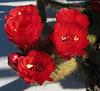 Red Cactus Flowers (1769)